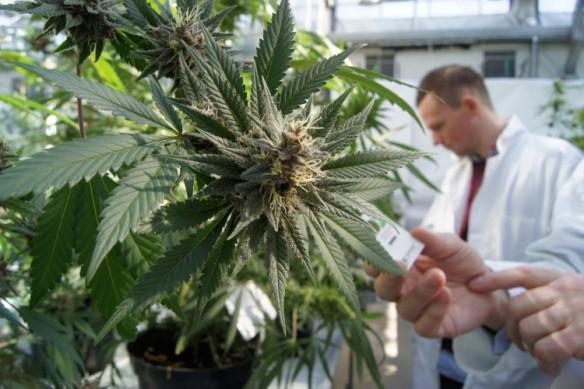 marijuana-Type2-diabetes-cure-750x500