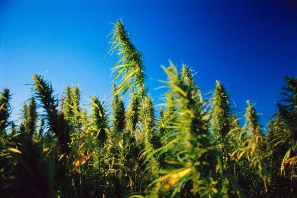 feds-finally-moving-towards-hemp-legalization